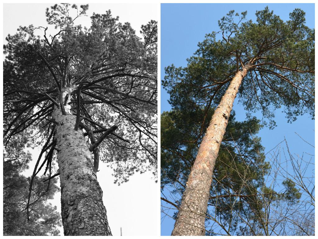 кронирование деревьев фото.