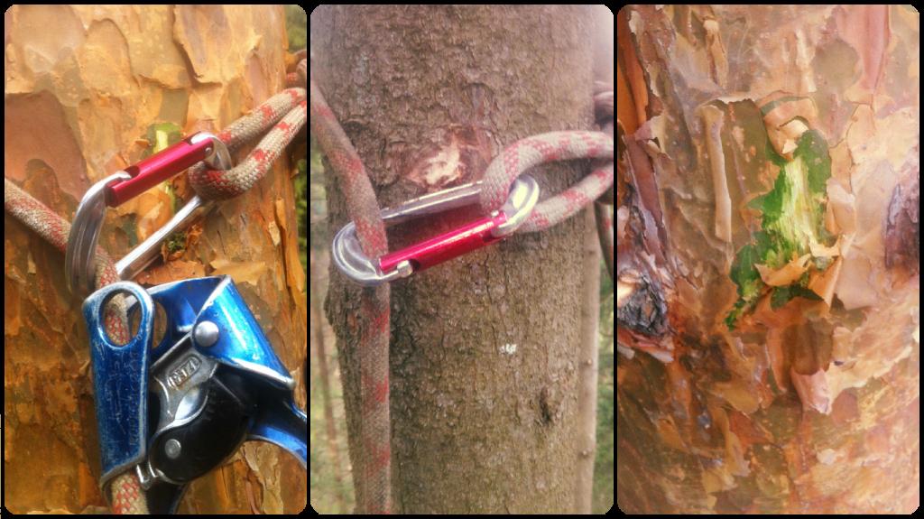 Обдирание коры сонен и елей при подъеме на деревья.